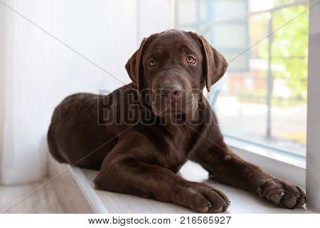 Chocolate labrador retriever on window sill
