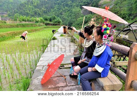 Dong tribe ladies with umbrellas and traditional costume wtching the harvest in the rice feilds in china