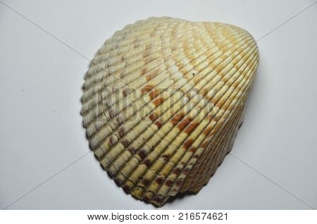 a  large sea shell on the white background