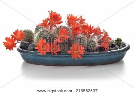 Blooming Cactus Houseplant Isolated On White Background.