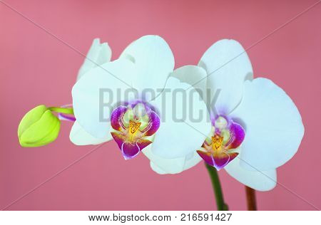 White orchid over pink background horizontal image