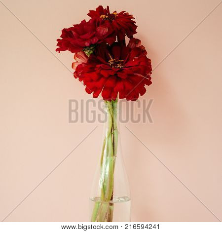 Bouquet of red cynicism in front of pale pink pastel background. Floral lifestyle composition with copy space