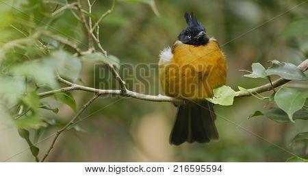 Black crested yellow bulbul