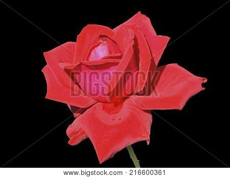 A close up of the flower red rose with raindrops on petals. Isolated on black.