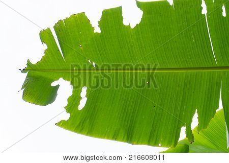 Banana banana leaves eat worms.banana leaf worm, Skipper, Erionota Thrax Linnaeus
