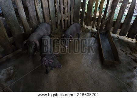 Three pigs in dirty dirt.Three pigs roaming in dirt inside their pen