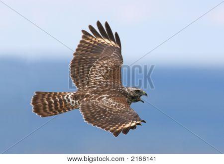 Red-Shouldered Hawk Calling