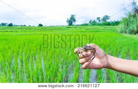 Catch Somanniathelphusa in the field.Hand holds freshwater crab or rice field crab and tipped over for see many crab balls