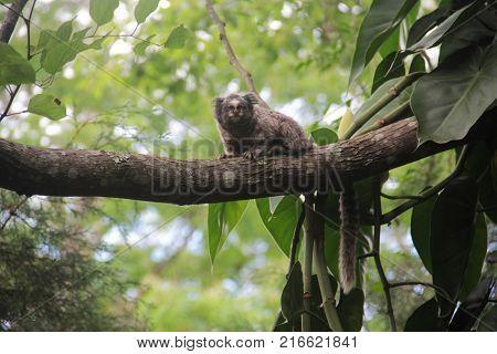 Macaco sagui descansando sozinho na mata atlântica