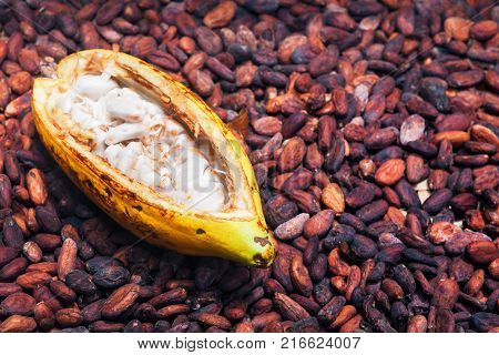 Indonesian cocoa trees plantation harvest - opened ripe pod on drying raw beans background. Fruit of cocoa plants used in food industry for producing chocolate natural cacao butter powder and drinks