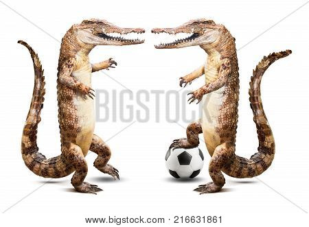 Taxidermy crocodile soccer player team isolated on white background with clipping path