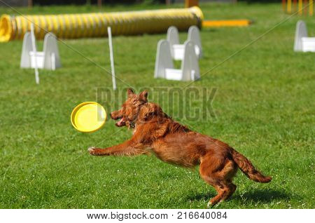 agility jumping dog comepetition brow border colie