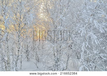 Bright golden sun sets behind a white birch grove hoarfrost covered - delightful beauty of the winter sunset or sunrise background