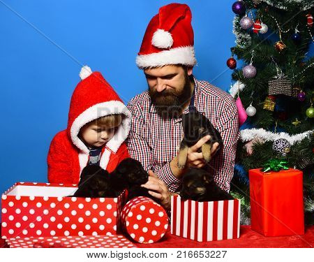 Dad with beard and kid hold dogs near Christmas tree. Father and son with interested faces unpack presents on blue background. New year of Dog concept. Man and boy in Santa hats play with puppies