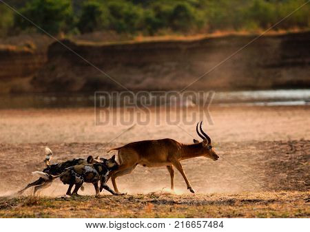 African Wild Dogs (Lycaon pictus) attacking a puku antelope on the open plains next to the Luangwa River. South Lunagwa National Park Zambia Southern Africa