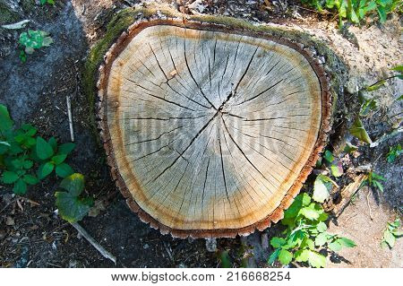 Cutting the life of a tree with growth rings and wrinkles of doom