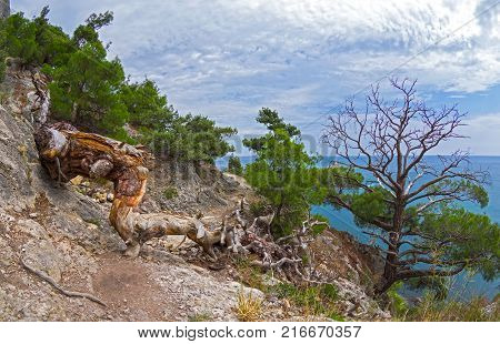 Asuhshaya Relic Pine Blocks The Mountain Path.