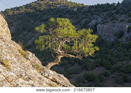 Illuminated by the bright sun, a small relic pine on the background of a dark wooded slope. Crimea