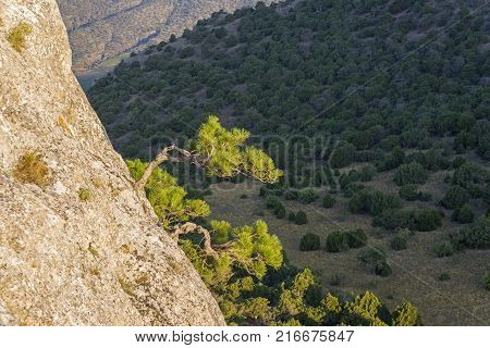 Illuminated by the bright sun, small relic pines on the background of a dark wooded slope. Crimea