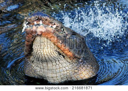 Close up of an action shot of a bull alligator thrashing and grunting to attract a mate in Florida