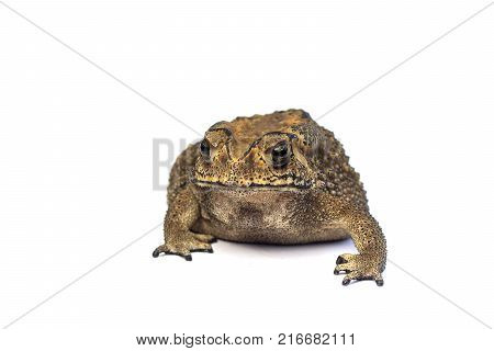 Asian common toad on white background Toad Isolated.