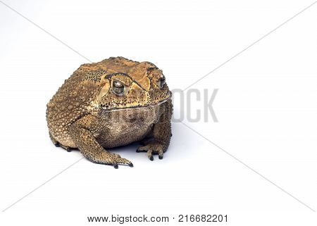 Asian common toad on white background Toad Isolated.copy space.