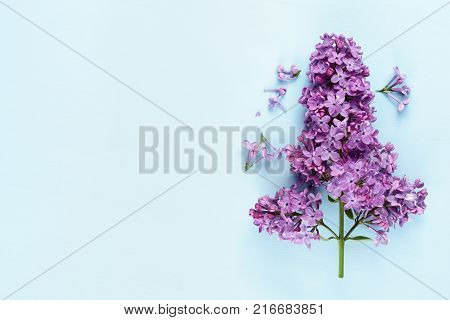Lilac flowers close-up on blue background with copy-space