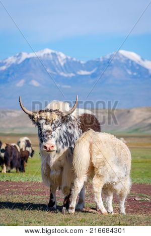 Yaks In The Pasture, Kyrgyzstan