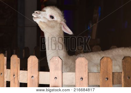 A cheeky beige alpaca in an indoor wood fence enclosure.