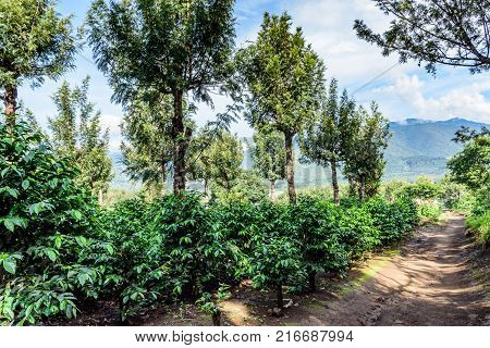Coffee bushes grow in shade of grevillea trees on coffee plantation in coffee growing area near Antigua, Guatemala Central America