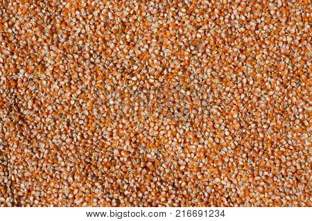 dried corn on floorCorn seed. Agriculture imageCorn drying in the sun