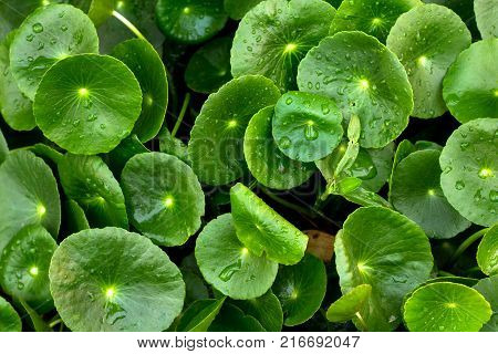 Heart shape of green Asiatic Pennywort (Centella asiatica)healthy food against wood.