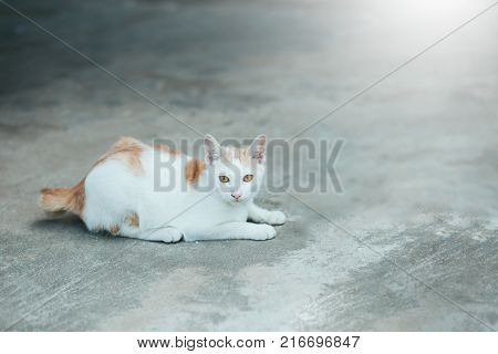Cats Siam cat on the cement floor. Cats sitting on the cement floor, white cat one on the cement floor, Thai cat skin.