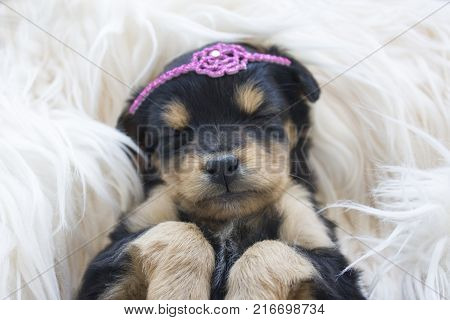 Cute female puppy sleeping peacefully. In Close.