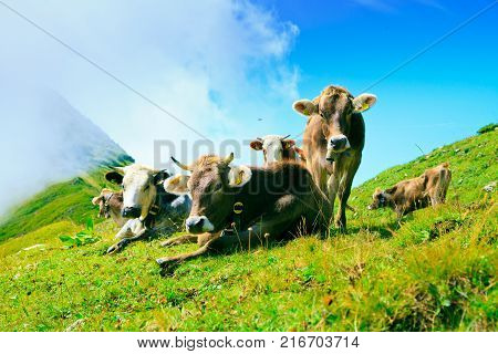 cows on pasture in the austrian alps