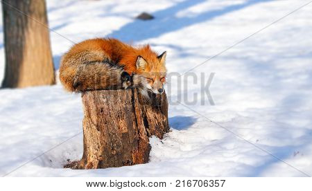 sleepy red fox in winter snow at Zao fox village, Miyagi, Japan