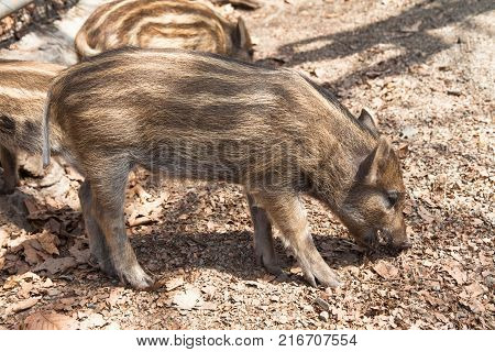 Wild boar striped piglets in the forest spring. Sus scrofa.