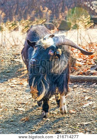 hairy goat looks into the camera. a lot of wool. Primorskiy Kray