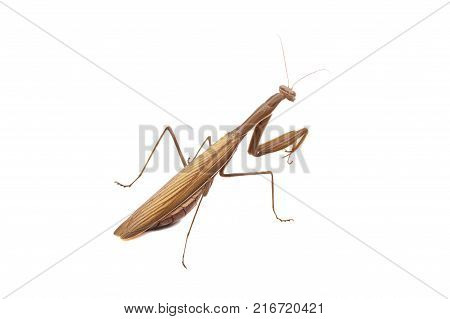 Close-up of an ordinary mantis or religious mantis, isolated on white background, the concept of insects.
