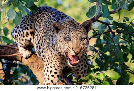 One Eyed Leopard (Panthera Pardus) up a tree looking directly at camera snarling with mouth open wrinkled muzzle