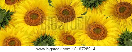 Long floral banner with sunflowers. Good background for labels sunflower seed sunflower oil and halva.