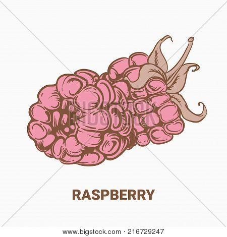 Illustration Of Drawing Raspberry. Hand Draw Illustration For Design. Vector Engraving Drawing Antiq
