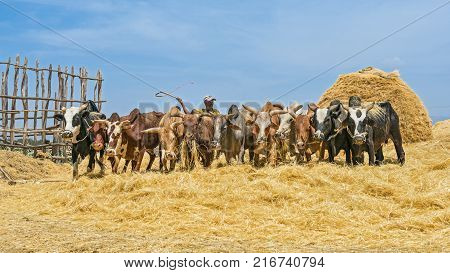 ADDIS ABABA, ETHIOPIA - MAY 1, 2015 : Ethiopian farmer using herd of oxen for threshing harvest.