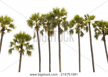 Sugar palm or toddy palm on the white background.