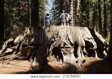 ARNOLD, USA-JUNE 15 2017: People above of the giant Sequoia trunk in Big trees park natural in Arnold, USA on June 15, 2017