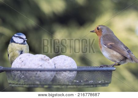 A closeup image of Wildlife and nature, with a Bluetit and Robin Red Breast Garden bird perching on a bird feeder.