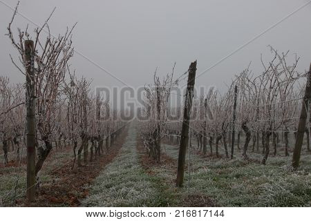 A vineyard in Germany on a foggy winter day with hoar frost
