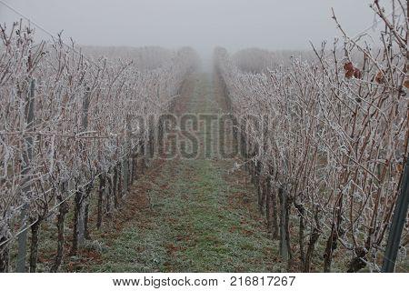 Hoar Frost In A Vineyard