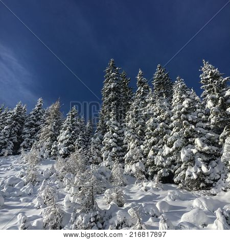Snow covered firs in front of a blue sky