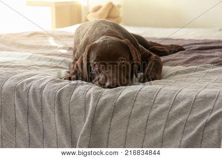 Chocolate labrador retriever on bed at home